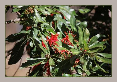Firewheel Tree in flower