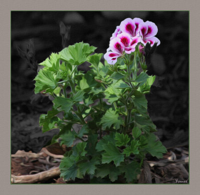 Young plant - pelargonium