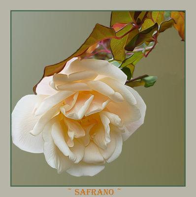 Old tea rose called Safrano