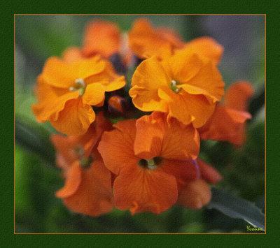 Erysimum - Wall Flowers.