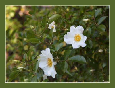 Laevigata, the Cherokee rose..