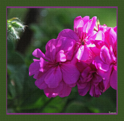 A new Ivy Pelargonium