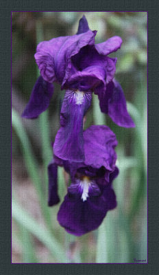 Deep Purple Flag Iris