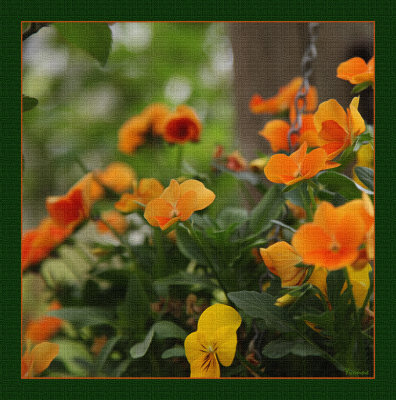 Golden Violas