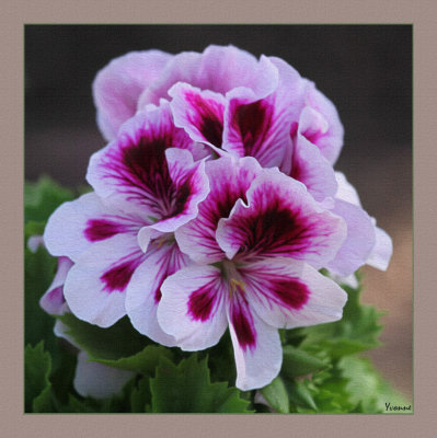 Regal pelargonium - new addition to the patch.