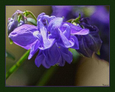 Blue Aquilegia - self sown