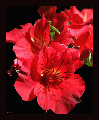 Princess Lily - red