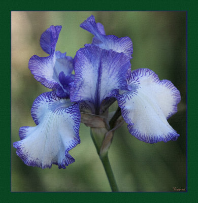 Blue Staccato - bearded iris.