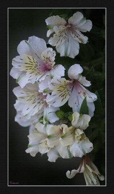 White Princess Lilies