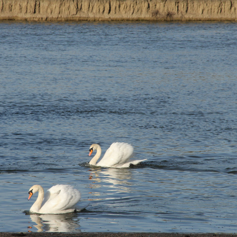 84:365<br>two swans a-swimming