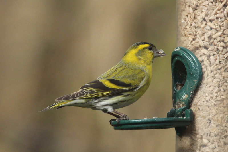 90:365<br>One Siskin Snacking