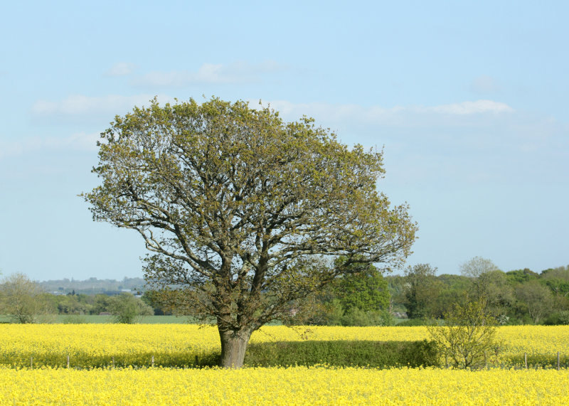 120:365<br>Fields of Yellow