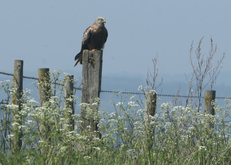 123:365<br>Perched Red Kite