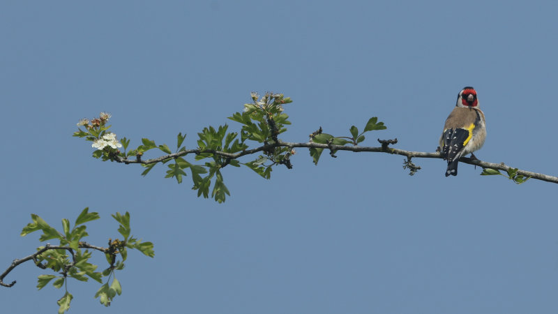 170:365<br>goldfinch on branch