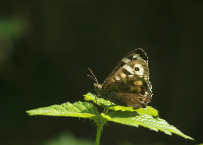 119:365<BR>Speckled Wood butterfly