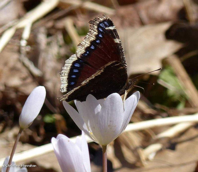 Mourning cloak butterfly (<em>Nymphalis antiopa</em>)