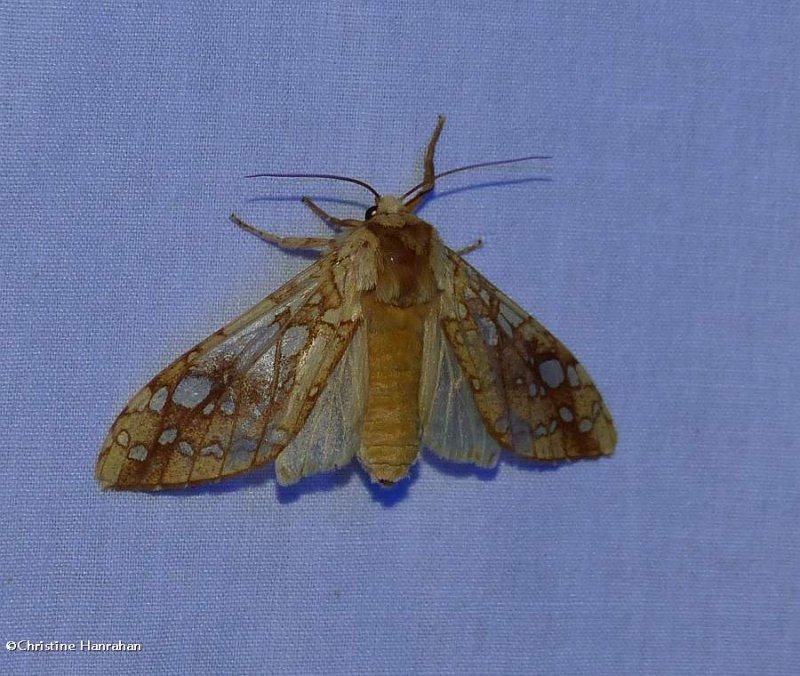 Hickory tussock moth (<em>Lophocampa caryae</em>), #8211