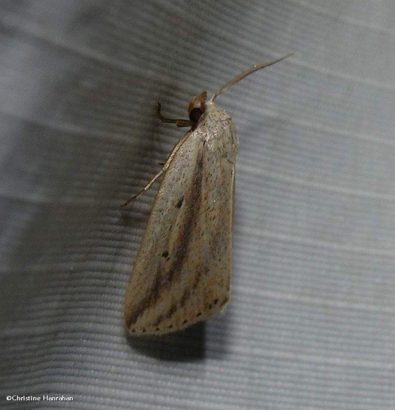 Feeble grass moth (<em>Amolita fessa</em>), #9818