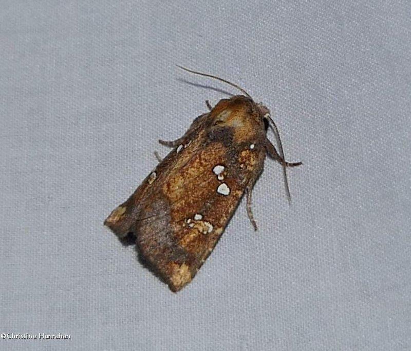 Northern burdock borer moth   (<em>Papaipema arctivorens</em>), #9471