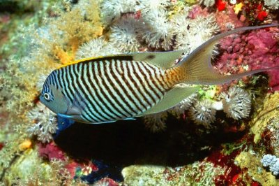 Zebra Angelfish (Genicanthus caudovittatus)