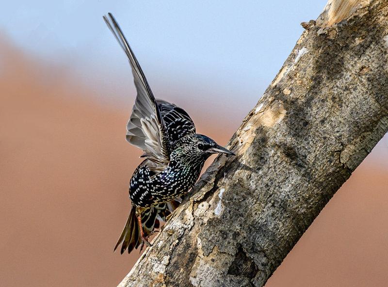 Starling hide and seek