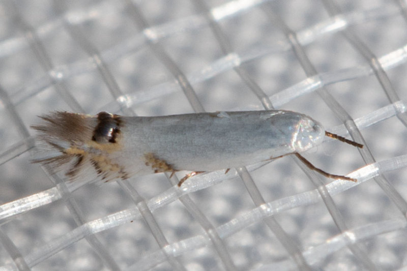 0475 Cottonwood Leafminer Moth    (Paraleucoptera albella)