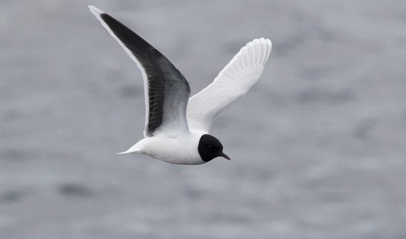 Little Gull (Hydrocoloeus minutus)