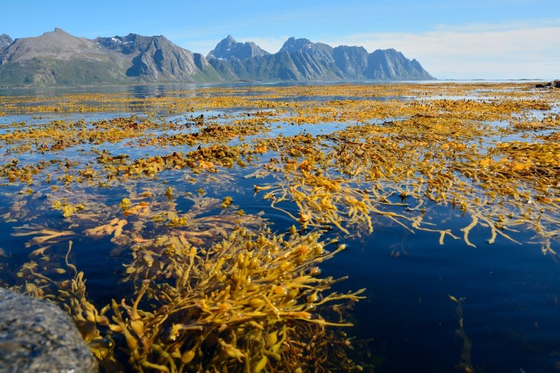 Gimsøystraumen with seaweed