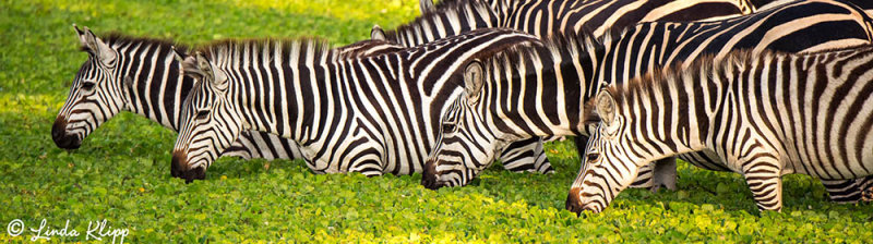 At The Oasis, Zebras at Watering Hole,