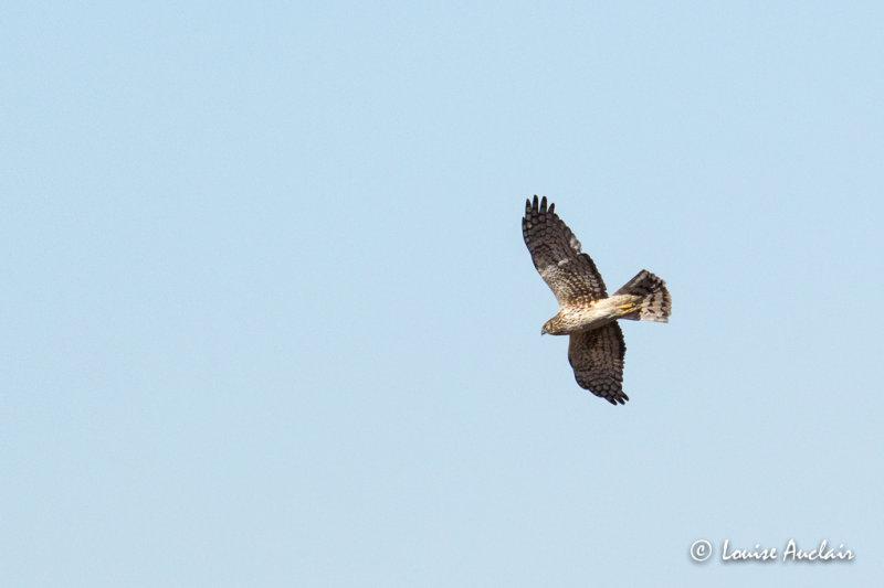 Busard St-Martin - Northern Harrier