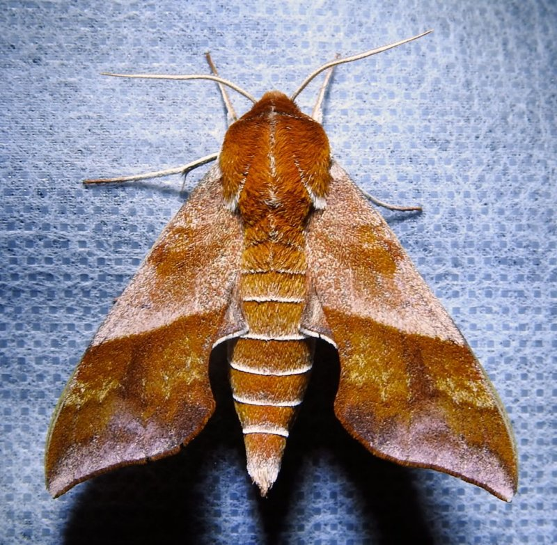 Darapsa choerilus - 7886 - Azalea Sphinx