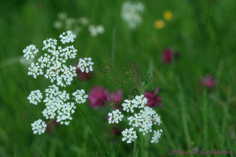 Purple clover and Queen Annes lace
