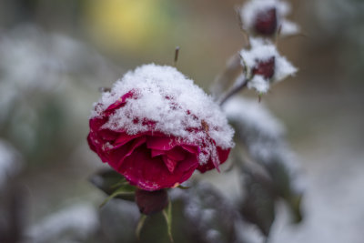 Frosty red rose....