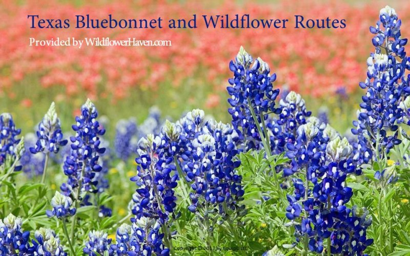 2015 Texas Bluebonnet Report eBooks