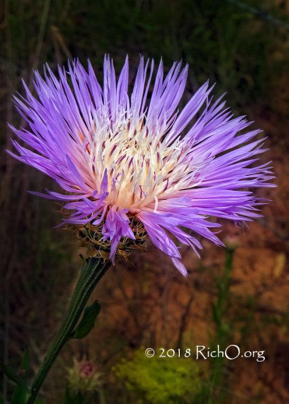 Basket-flower I