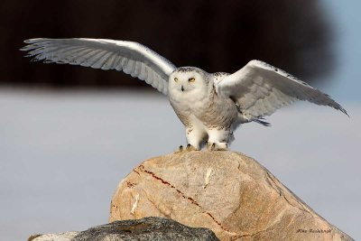 Snowy Owl - Rock and Roll