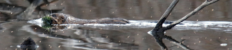 A Muskrat traveling on a small pond off Fresh Pond