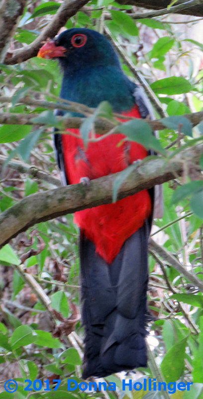 Male Slaty Tailed Trogon (Trogon massena)