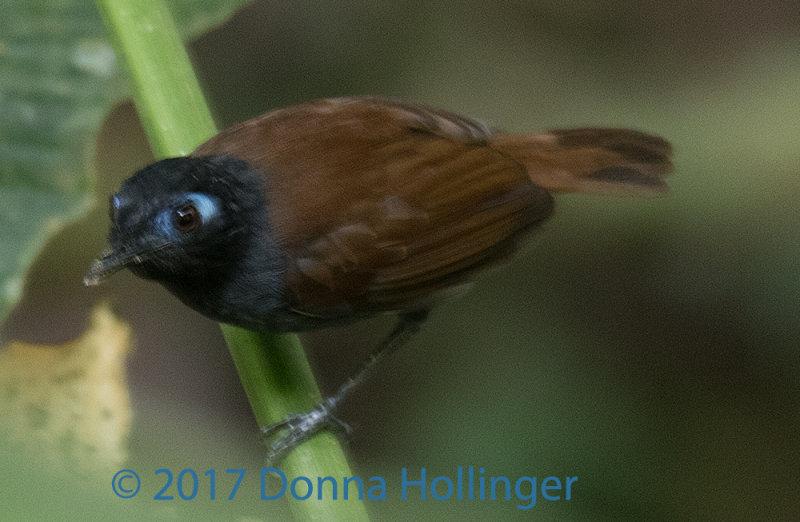 Chestnut Backed Antbird Male