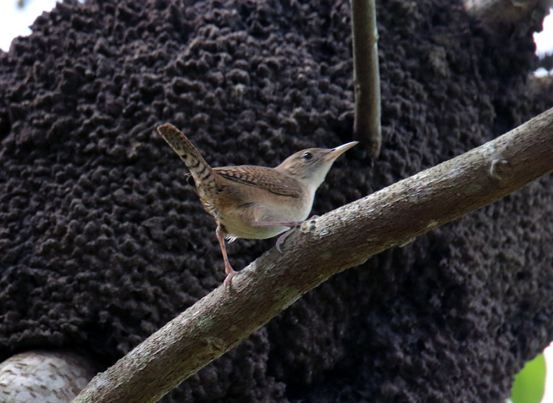 Looking for a nest - Wren