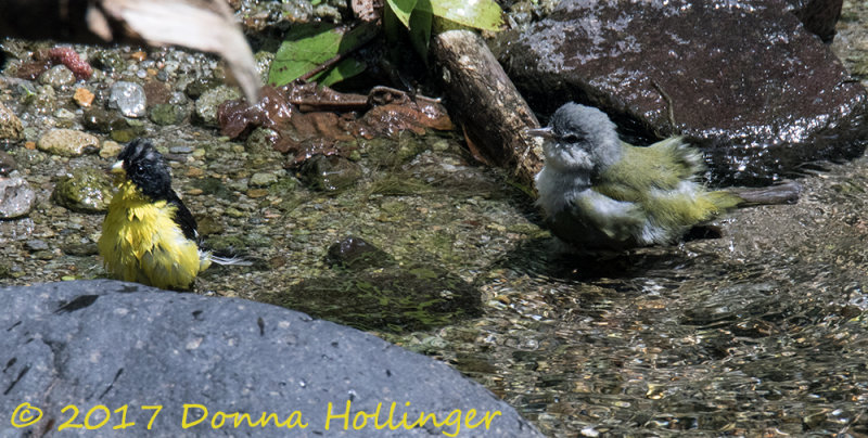 A lesser Goldfinch and a Tennessee Warbler Bathing