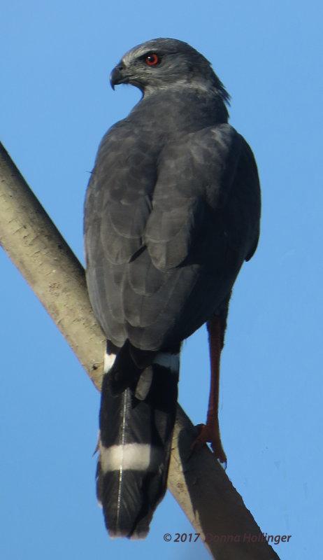 Crane Hawk (Geranospiza caerulescens)