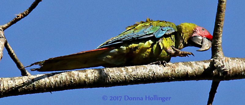 Great Green Macaw (Ara ambigua)