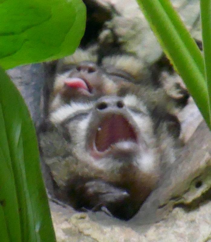 2 little Night monkeys from a movie