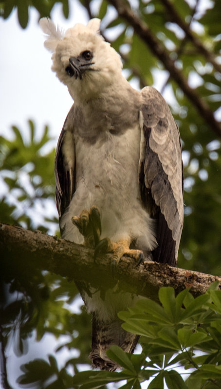 Harpy Eagle chick  About 1.5 years old waiting for her Mum!