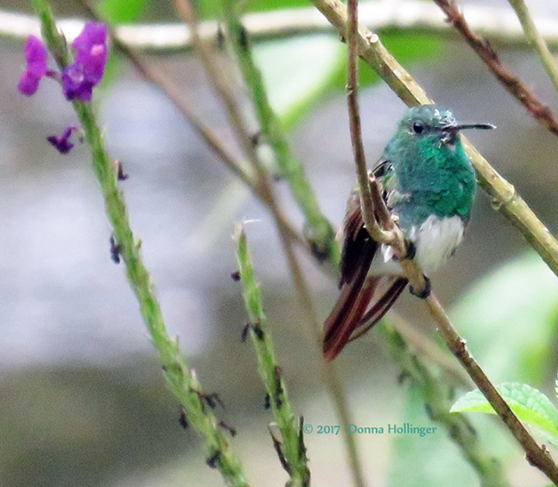 Snowy-breasted Hummingbird