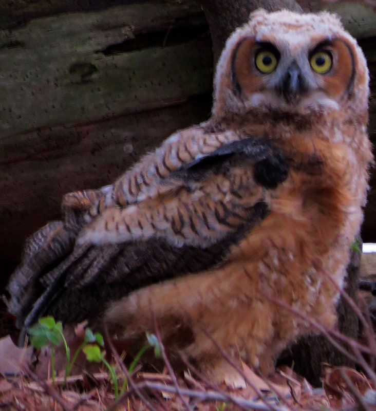 Great Horned Owlette who hasnt learned how to fly!