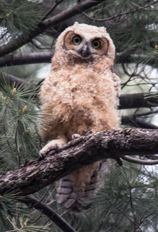 Great Horned Owlette who CAN FLY
