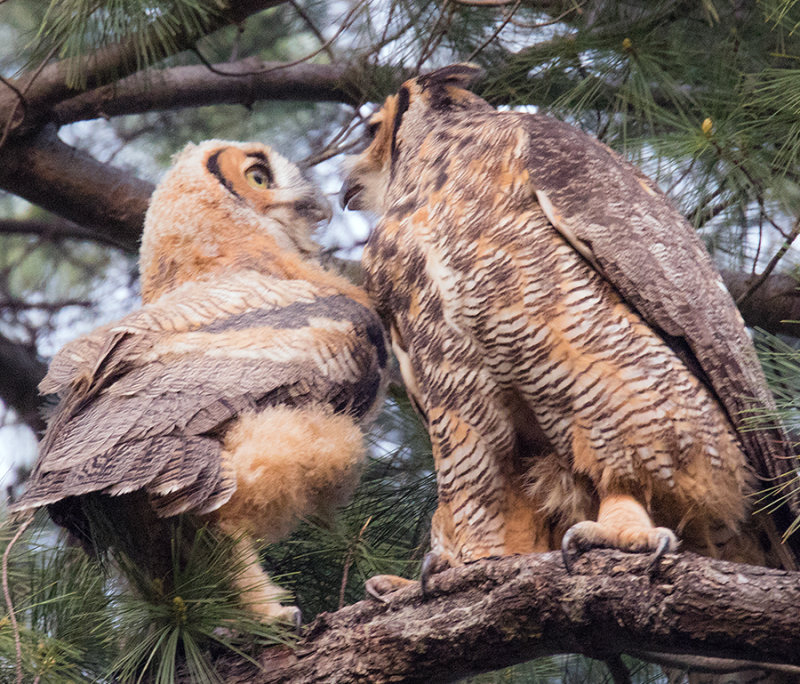 Parent to Baby Great Horned Owls