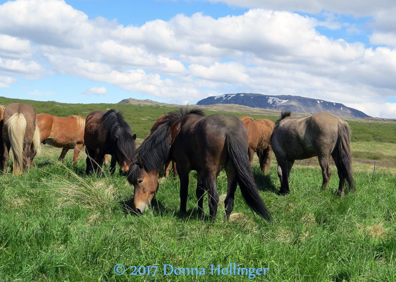 Icelandic Horses grazing on the way to Pingevellir